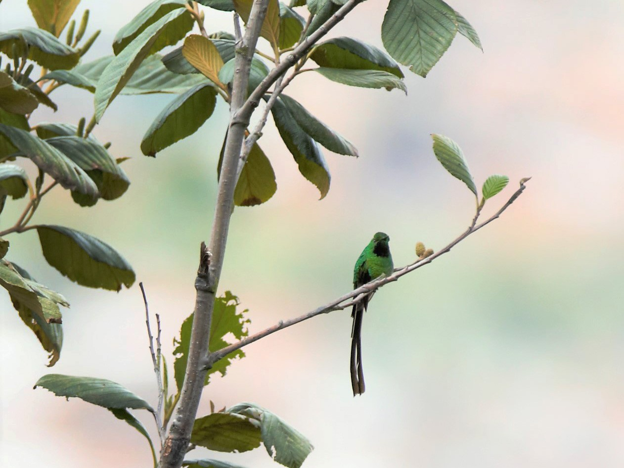 Green-tailed Trainbearer - Michael Muchmore