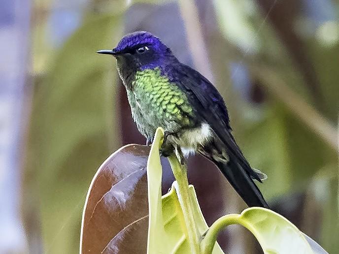 Purple-backed Thornbill - Peter Hawrylyshyn