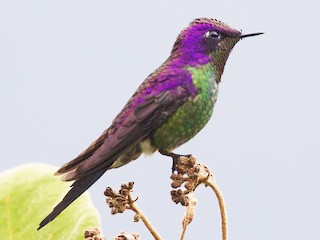 - Purple-backed Thornbill