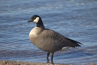 Cackling Goose, ML72330641