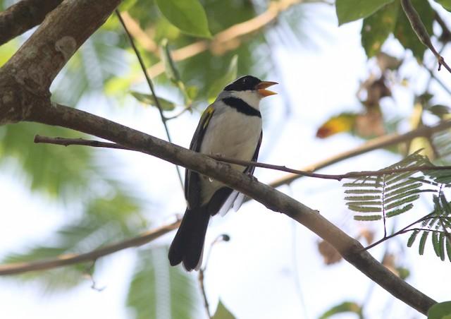 Saffron-billed Sparrow
