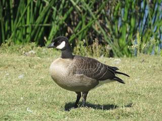 Cackling Goose, ML72437831