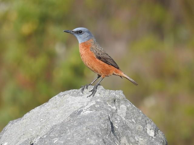 Cape Rock-Thrush