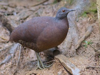 - Brown Tinamou