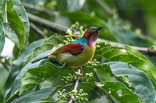 - Red-throated Sunbird