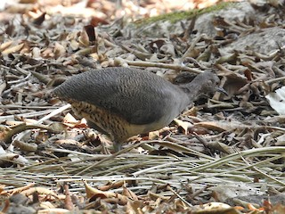- Undulated Tinamou