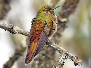 - Bronze-tailed Thornbill