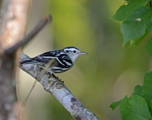 Black-and-white Warbler ML72586371