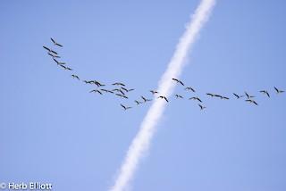 Canada Goose, ML72611601