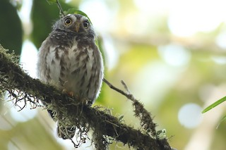 - Subtropical Pygmy-Owl