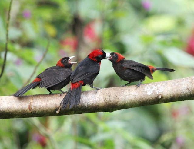 Adult Crimson-collared Tanager feeding juveniles.