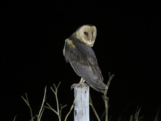- African Grass-Owl