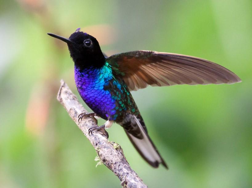 Velvet-purple Coronet - Michael Todd
