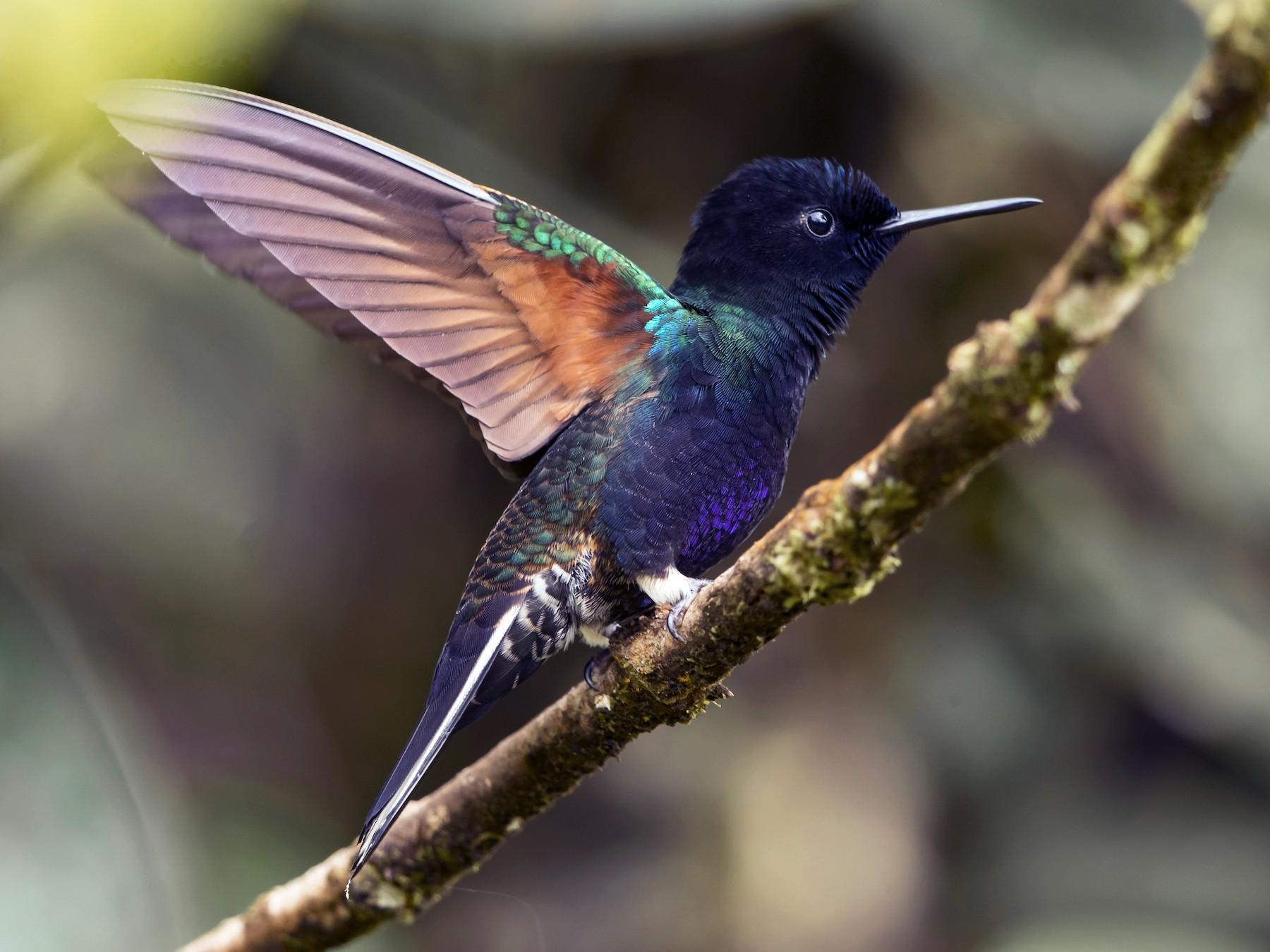 Velvet-purple Coronet - Peter Hawrylyshyn