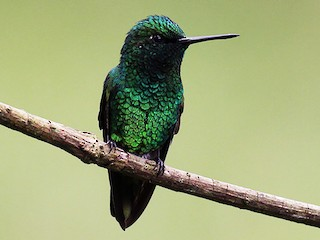 - Short-tailed Emerald