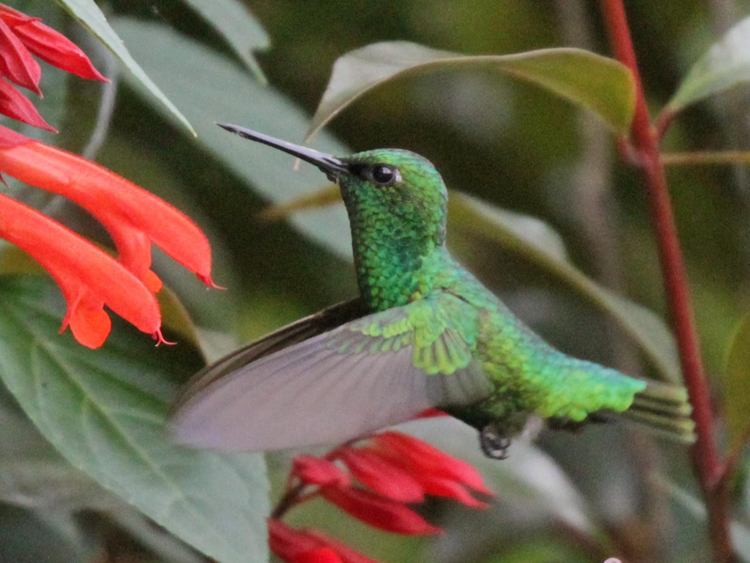 Short-tailed Emerald - Doug Korver