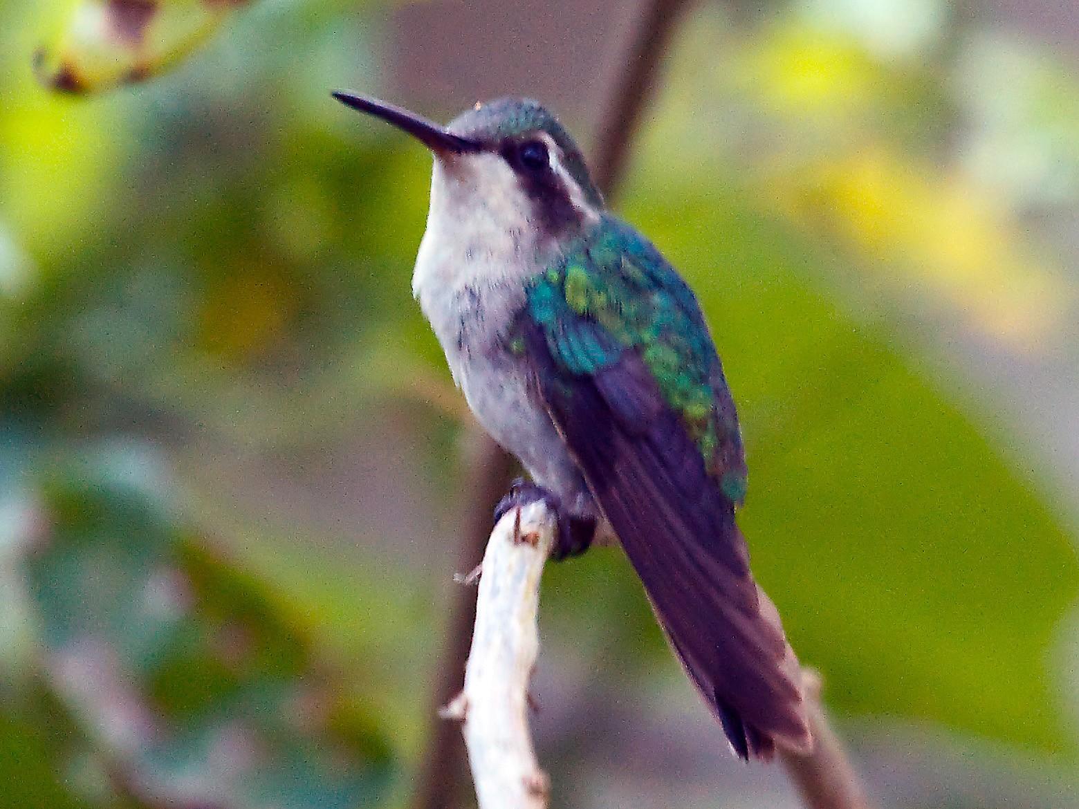 Short-tailed Emerald - Nigel Voaden