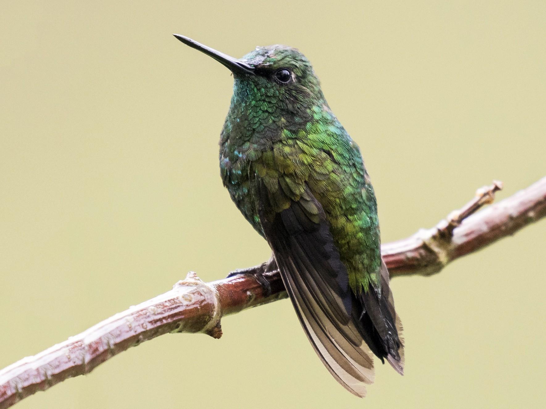 Short-tailed Emerald - Peter Hawrylyshyn