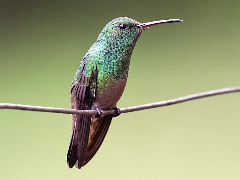 Green-bellied Hummingbird - Fabrice Schmitt