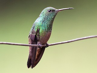 - Green-bellied Hummingbird