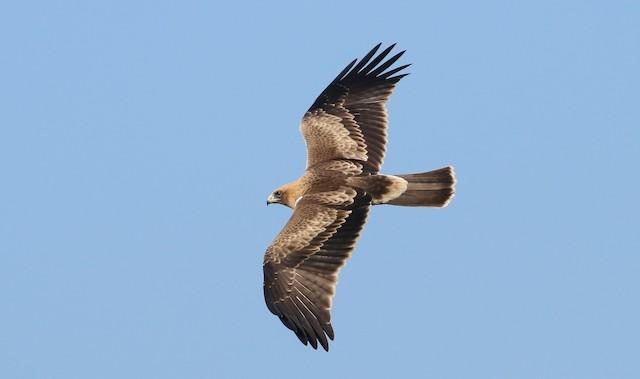 ©Alexandre Hespanhol Leitão - Booted Eagle