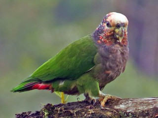 - Speckle-faced Parrot