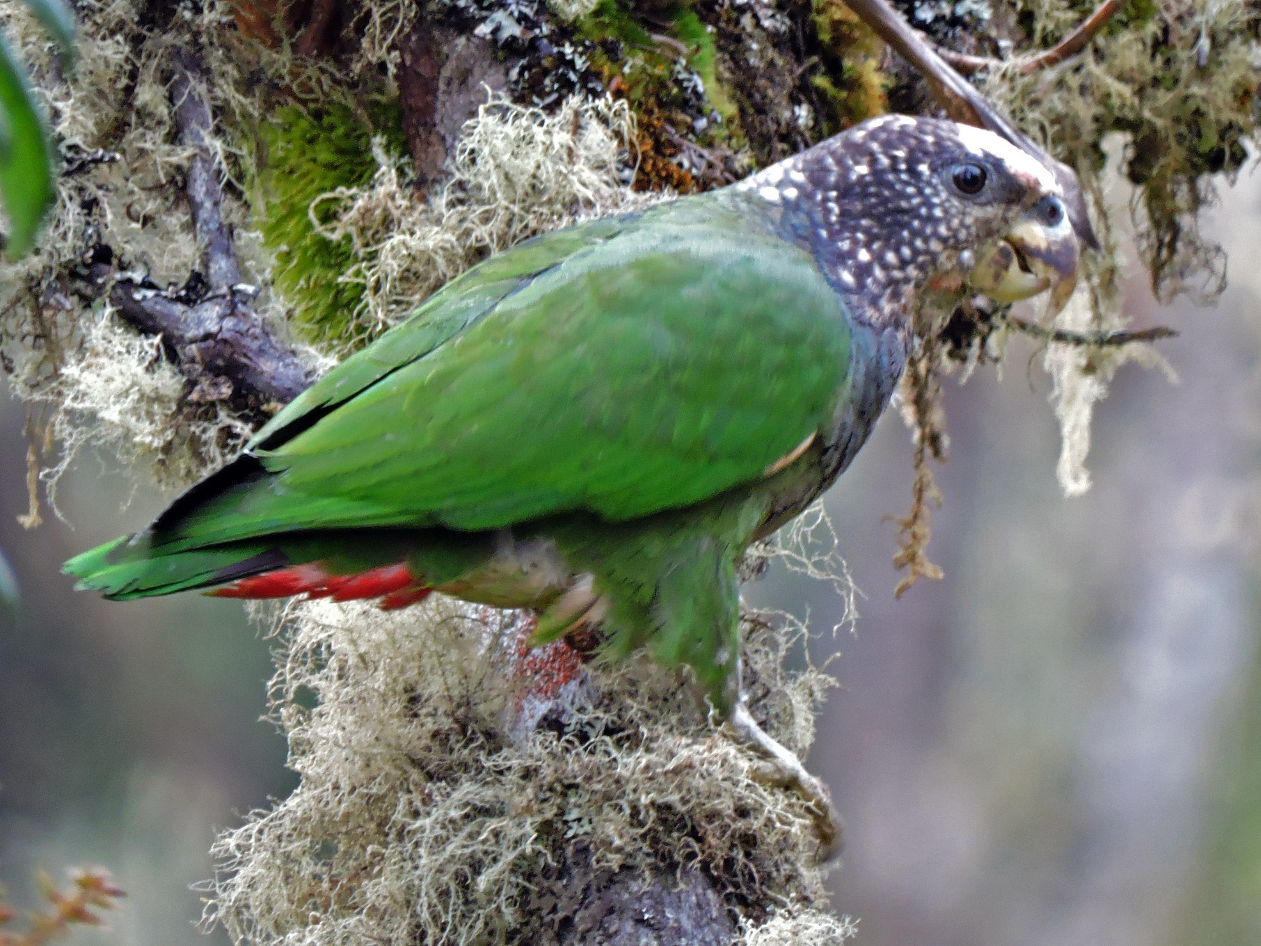 Speckle-faced Parrot - Edwin Munera