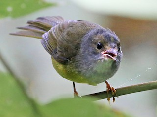 - Gray-throated Warbler