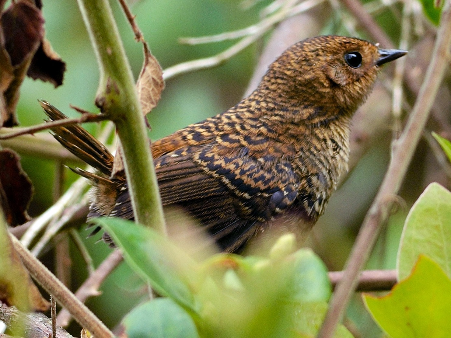 Pale-bellied Tapaculo - Neil Diaz