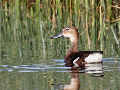 Rosy-billed Pochard - Ramiro Ramirez
