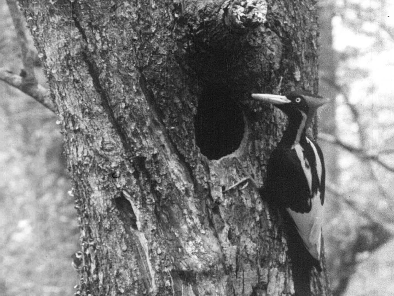 Ivory-billed Woodpecker - Arthur A. Allen