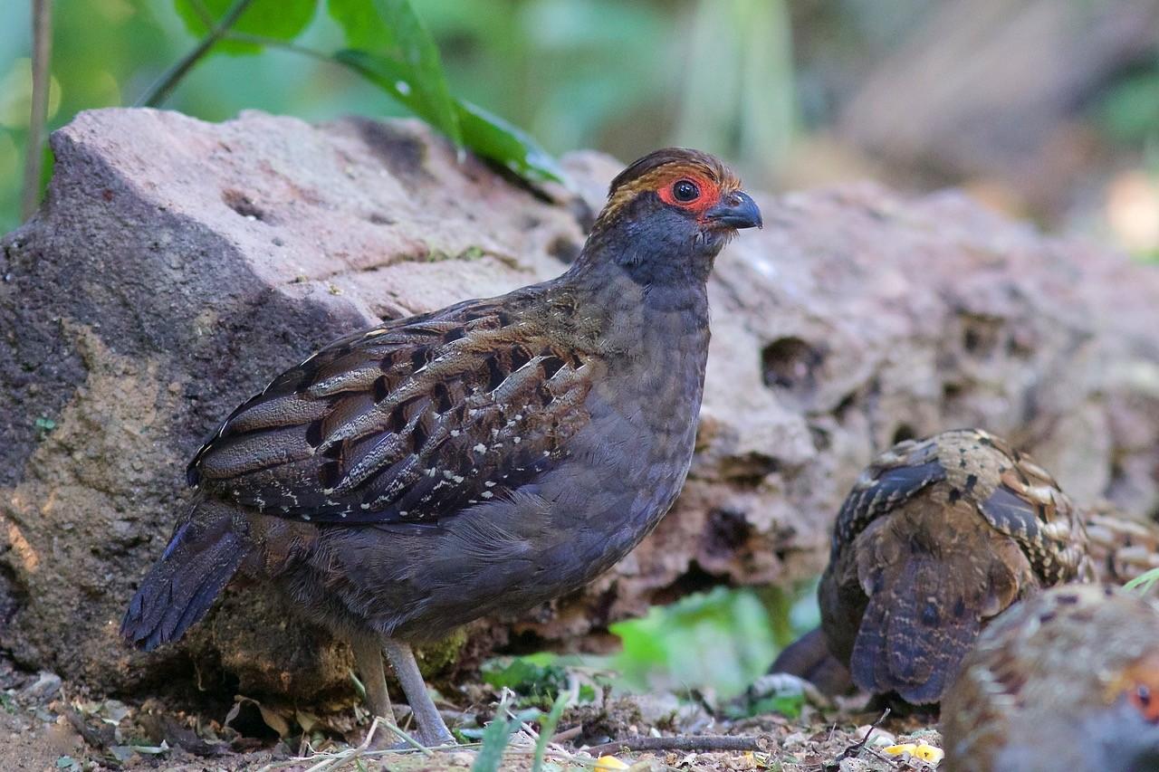 Spot-winged Wood-Quail - Luiz Matos