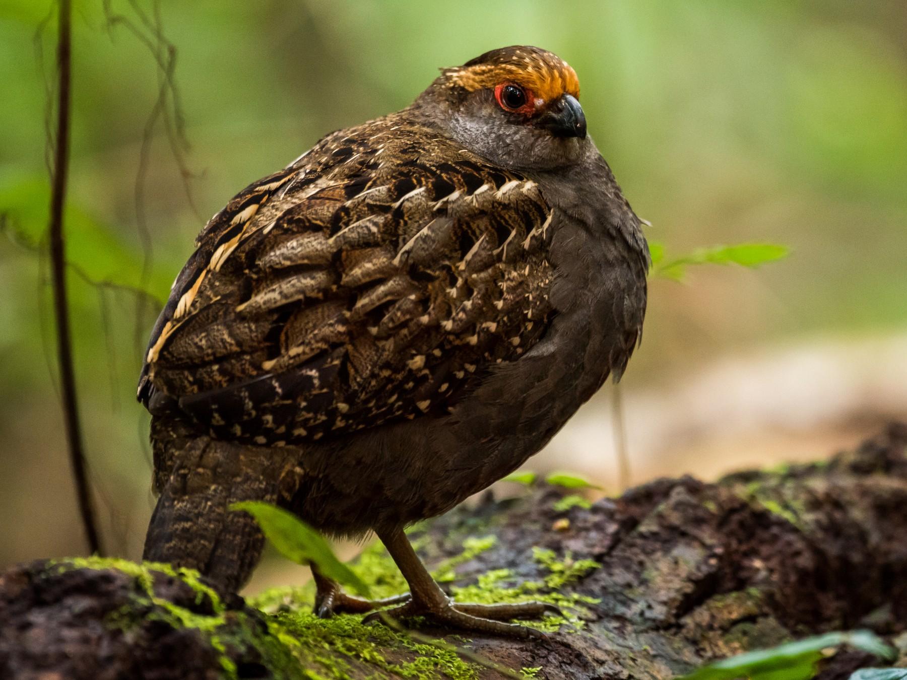 Spot-winged Wood-Quail - Claudia Brasileiro