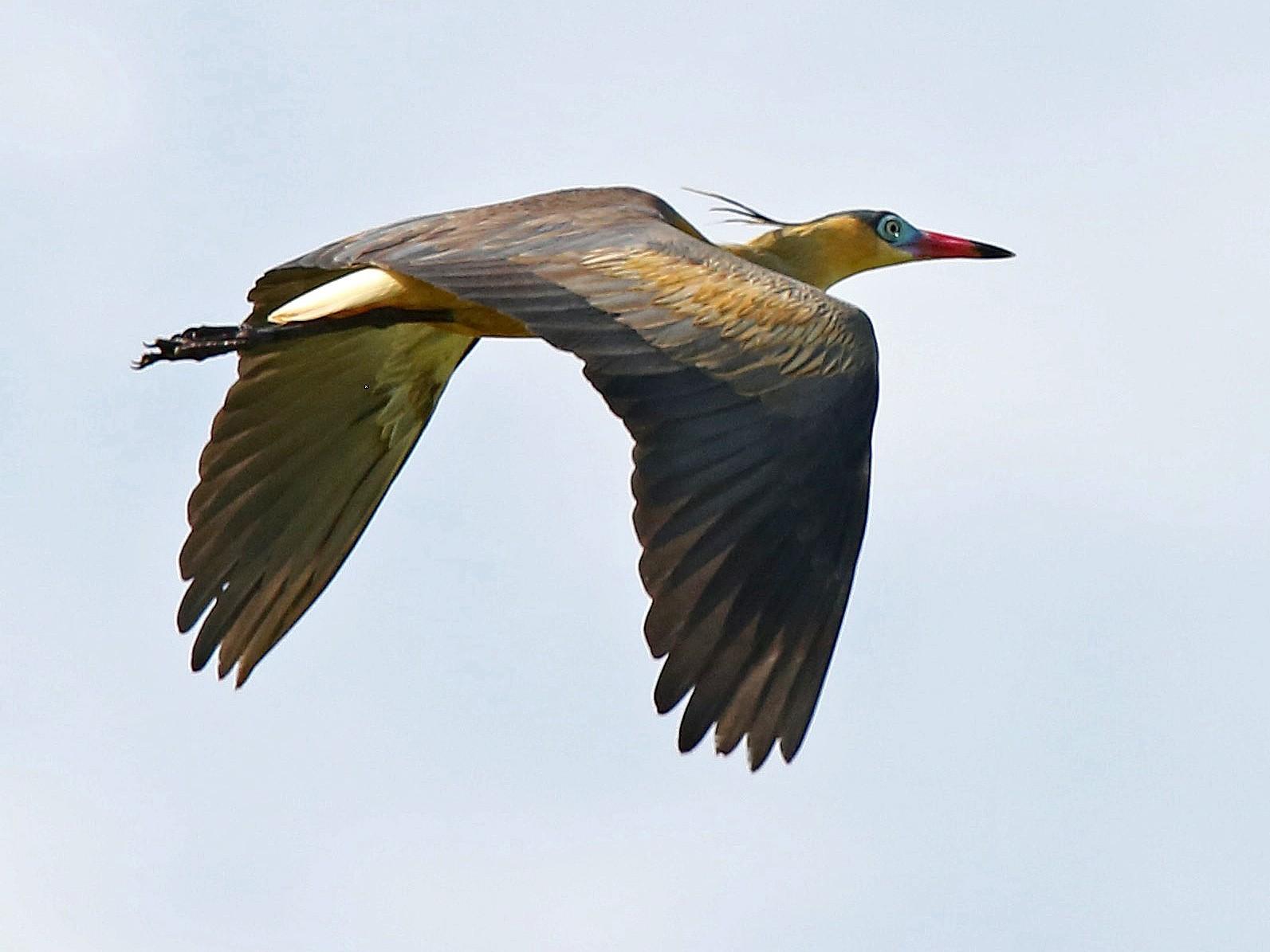 Whistling Heron - Roger Ahlman