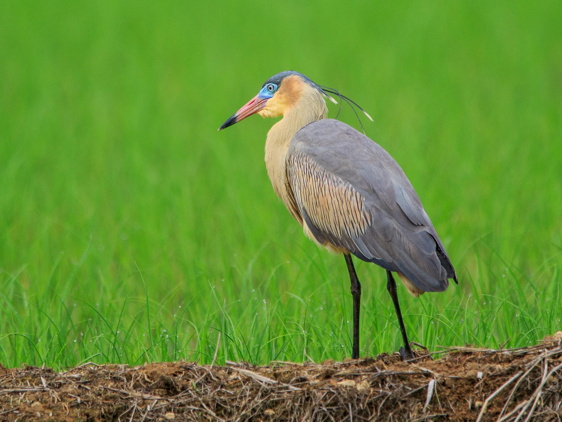 Whistling Heron - Fernando Farias