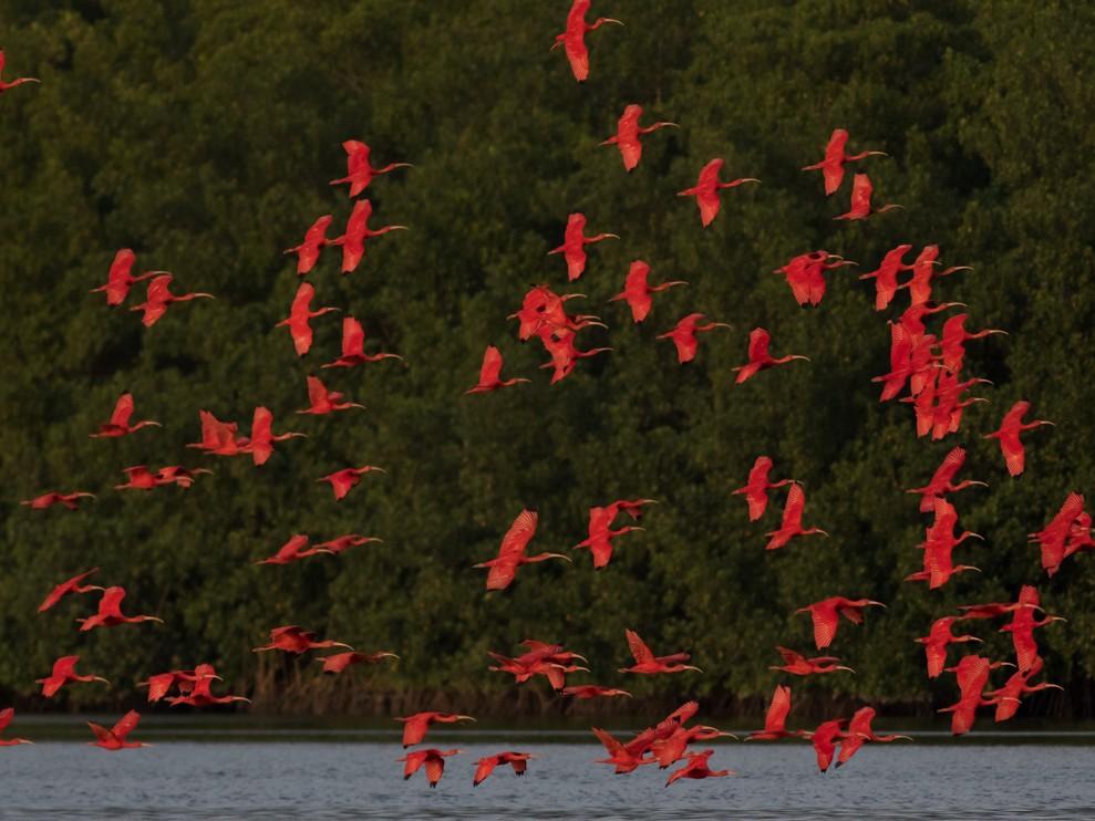 Scarlet Ibis - Tom Johnson