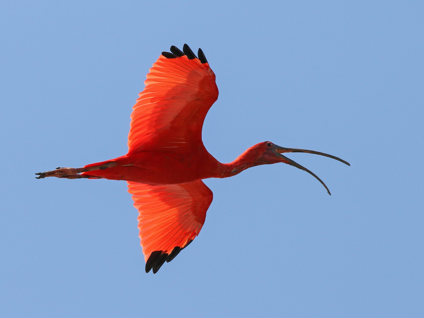 Scarlet Ibis - Luke Seitz