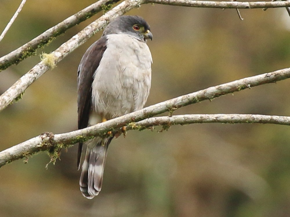 Rufous-thighed Kite - Tommy Pedersen