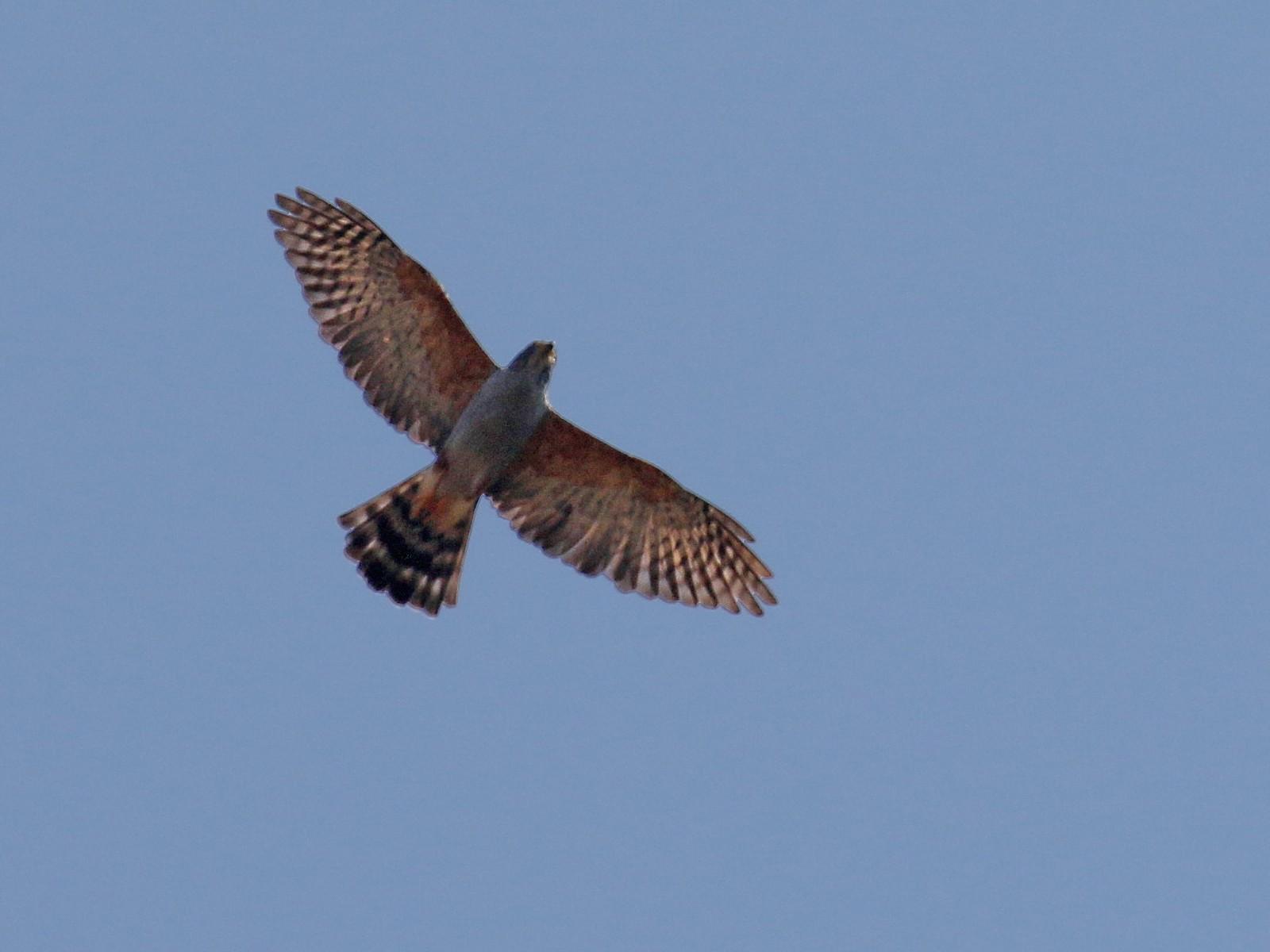 Rufous-thighed Kite - David Lang