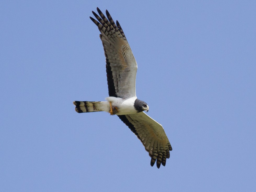 Long-winged Harrier - Tom Johnson