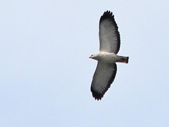 White-necked Hawk - Guilherme  Willrich