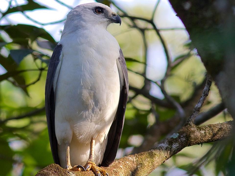 White-necked Hawk - Luiz Matos