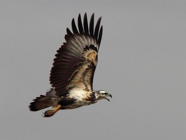 Chaco Eagle - Ramiro Ramirez