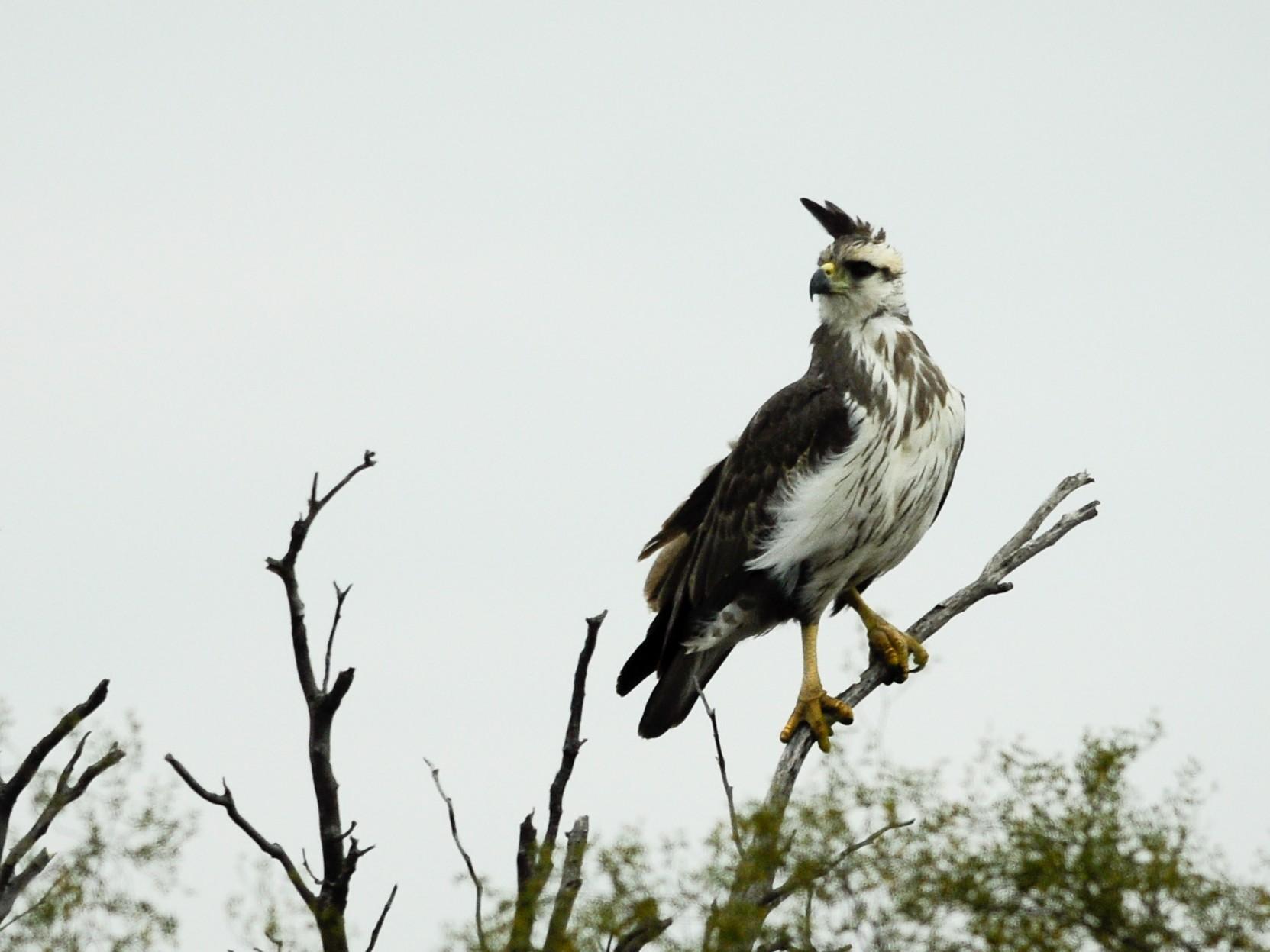 Chaco Eagle - Pablo Brandolin
