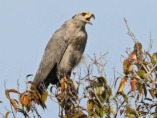 - Chaco Eagle