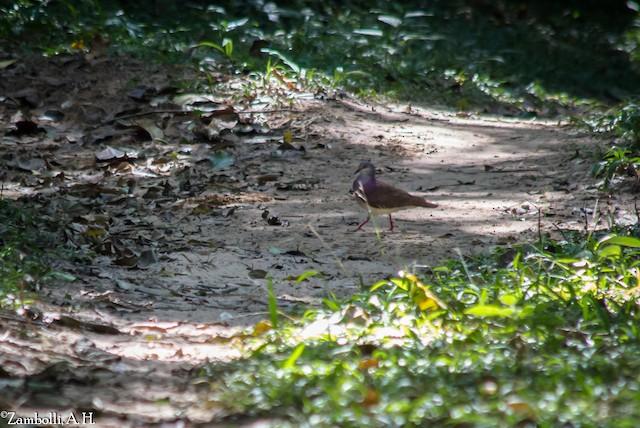 Violaceous Quail-Dove