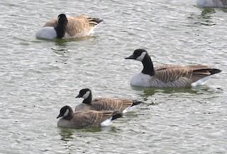Cackling Goose, ML72957491