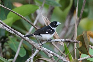 - White-naped Seedeater