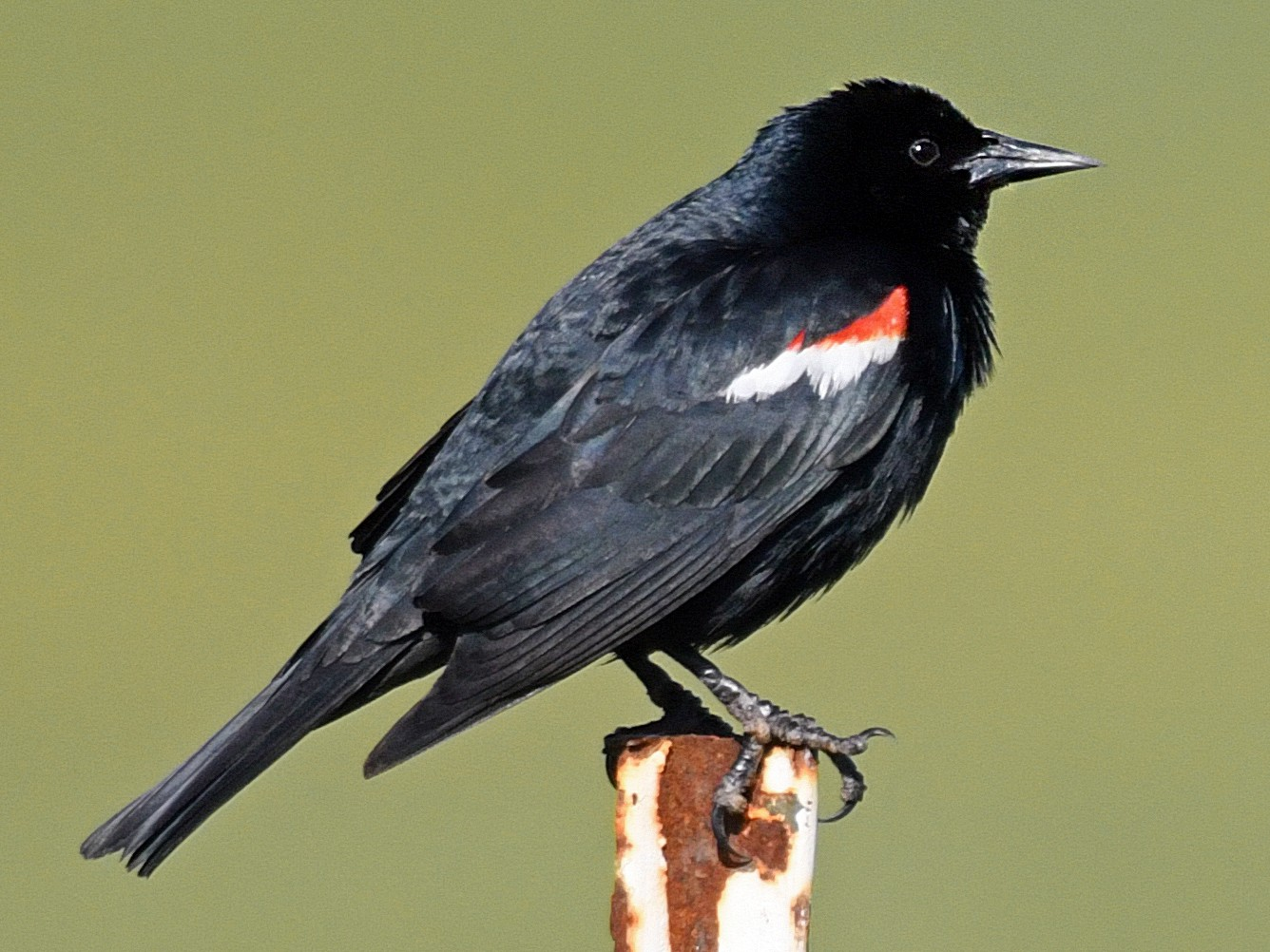 Tricolored Blackbird - Dan Murphy