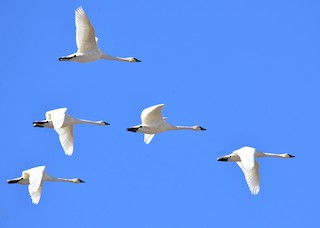 Tundra Swan (Whistling), ML73019201